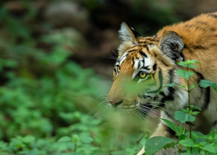 Kanha Bandhavgarh Tour Packages